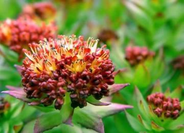 Родиола розовая – полезные свойства и противопоказания