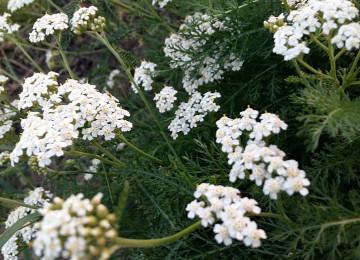 Тысячелистник обыкновенный – лечебные свойства растения (Латинское название — Achilléa millefólium)