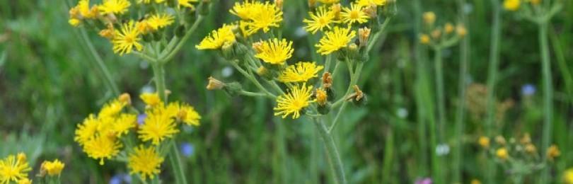 Ястребинка – применение травы