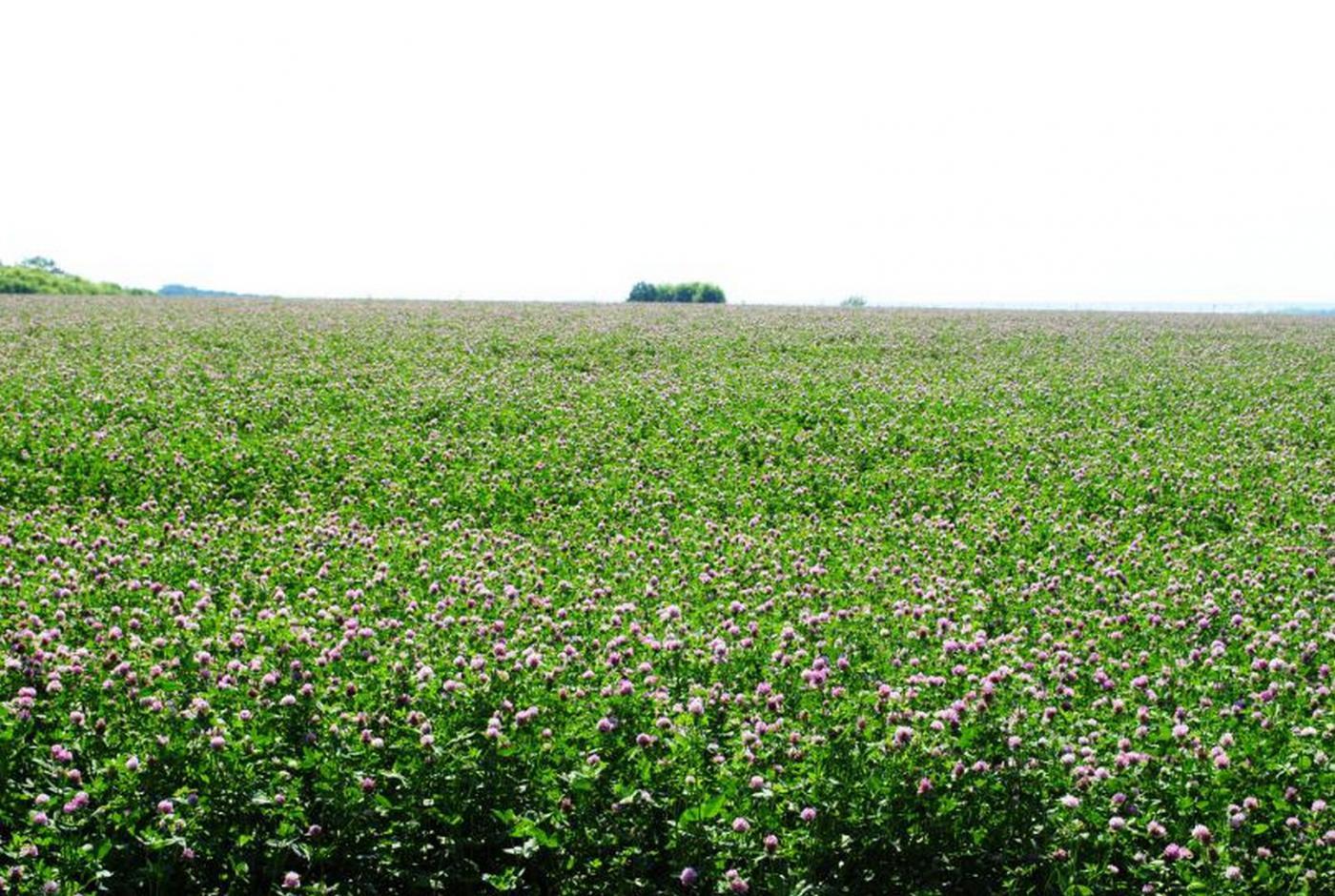 Клеверное поле