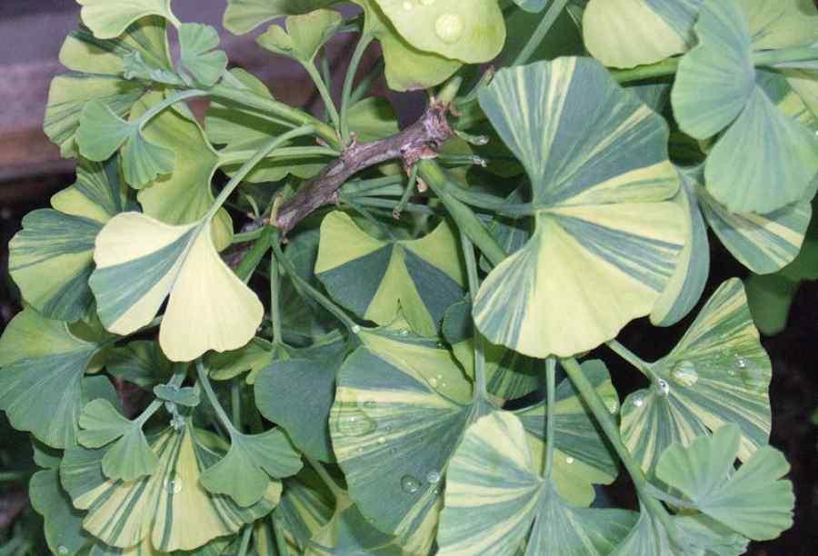 Листья гинкго билобы