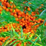 Созревшие ягоды облепихи