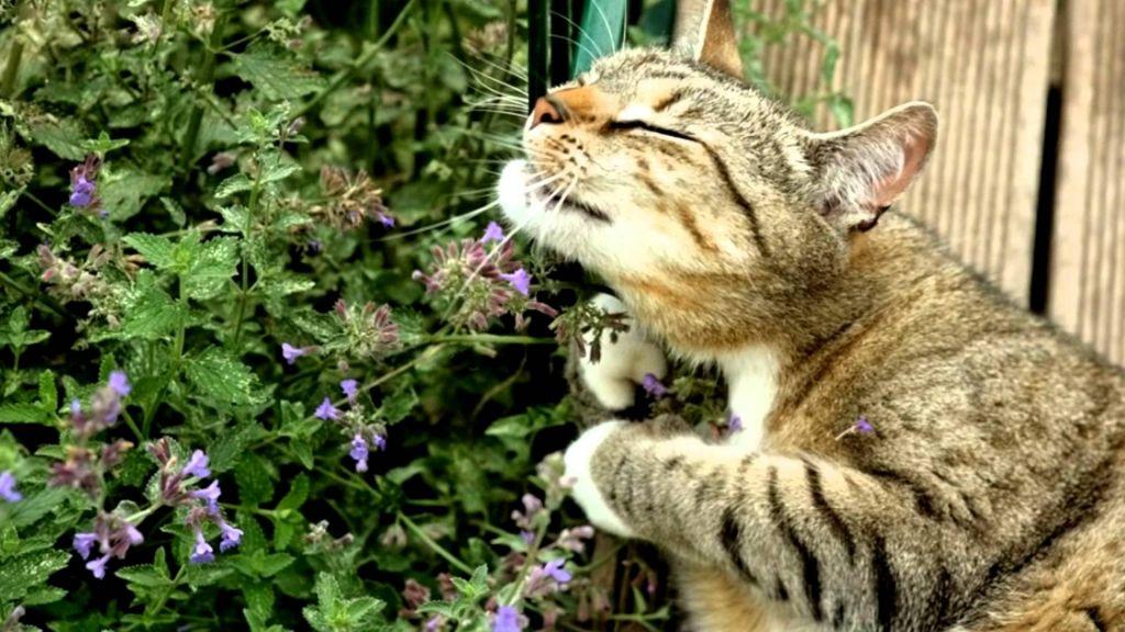 Кошка и валериана