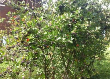 Куст черноплодной рябины