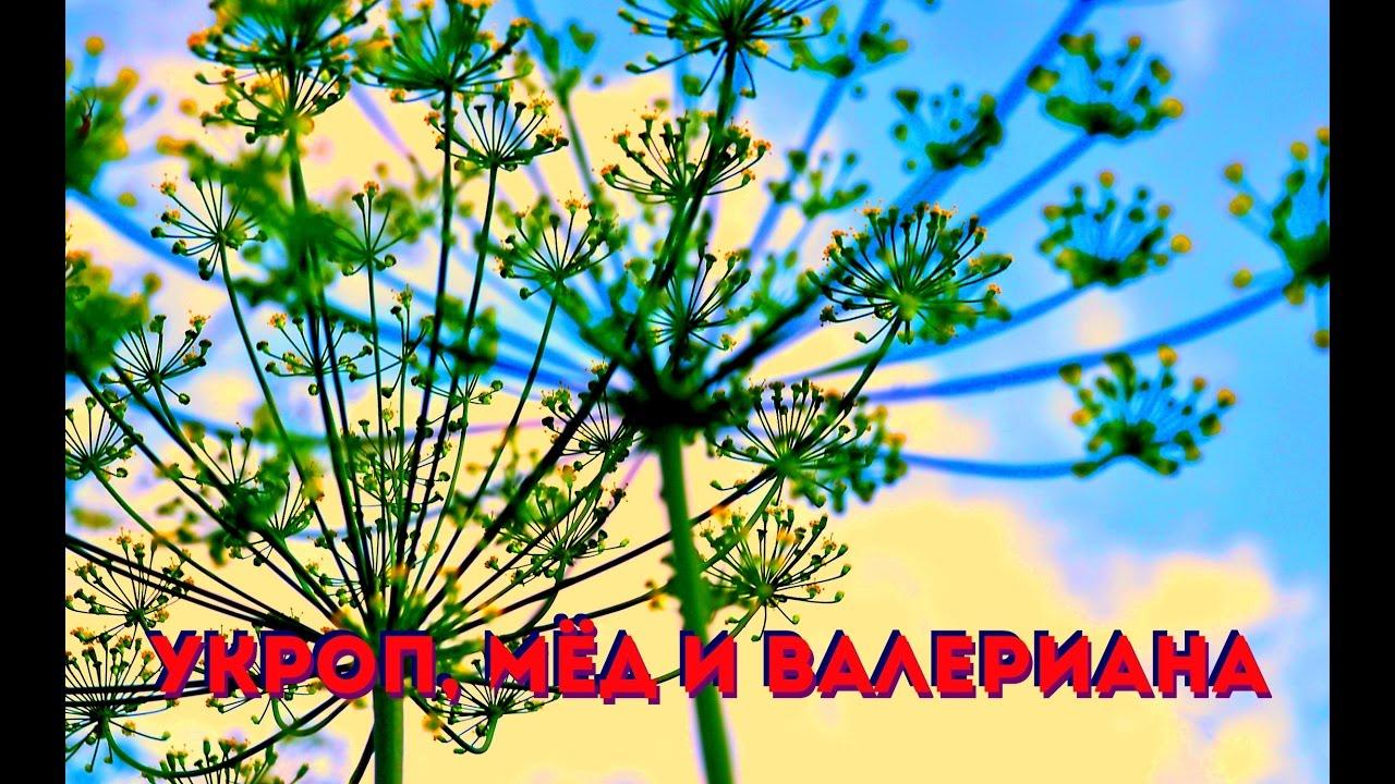 Укроп, мед и валериана