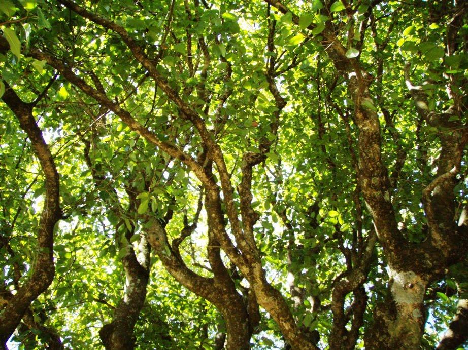 Чайное дерево в природе