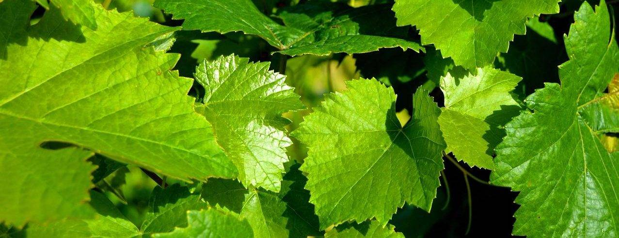 Виноградные листья в начале лета
