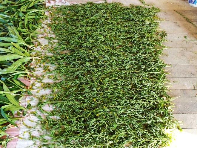 Трава репешок