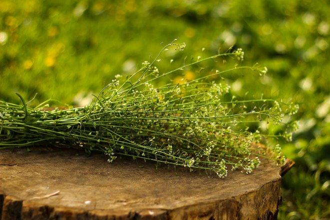 Трава пастушья сумка