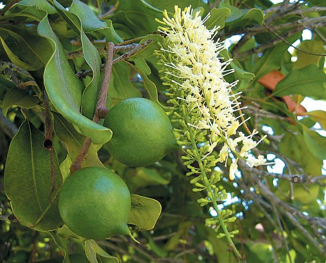Австралийский орех макадамия