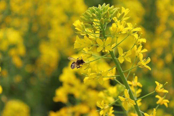 Вкус и цвет рапсового мёда