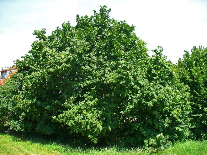 Лист орешника
