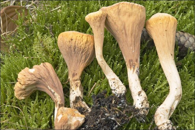Рогатик – гриб