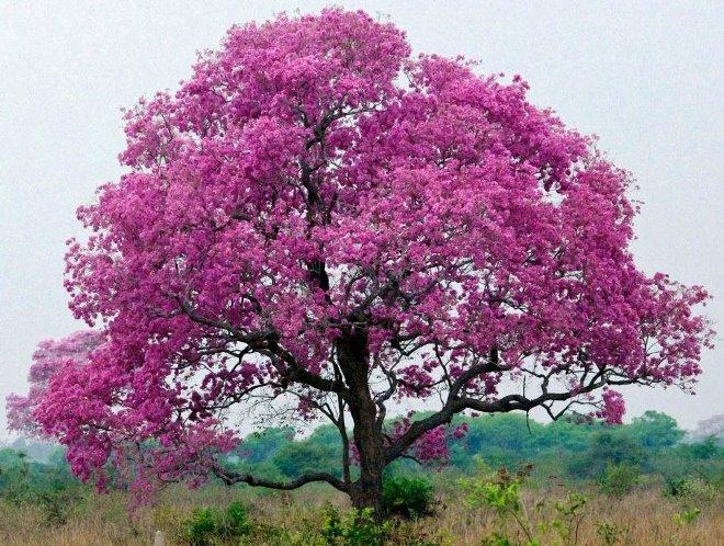 Кора муравьиного дерева