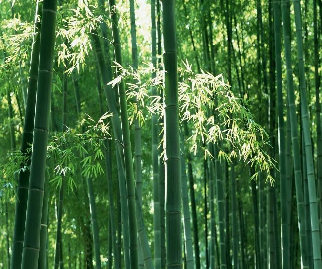 Росток бамбука