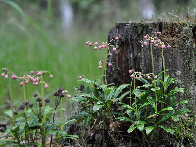 Трава зимолюбка