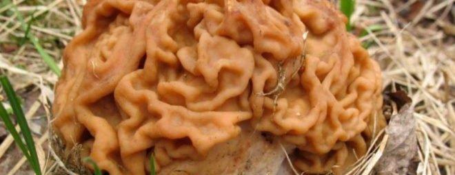 Строчки - грибы