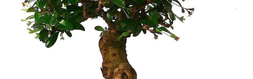 Куст чайного дерева